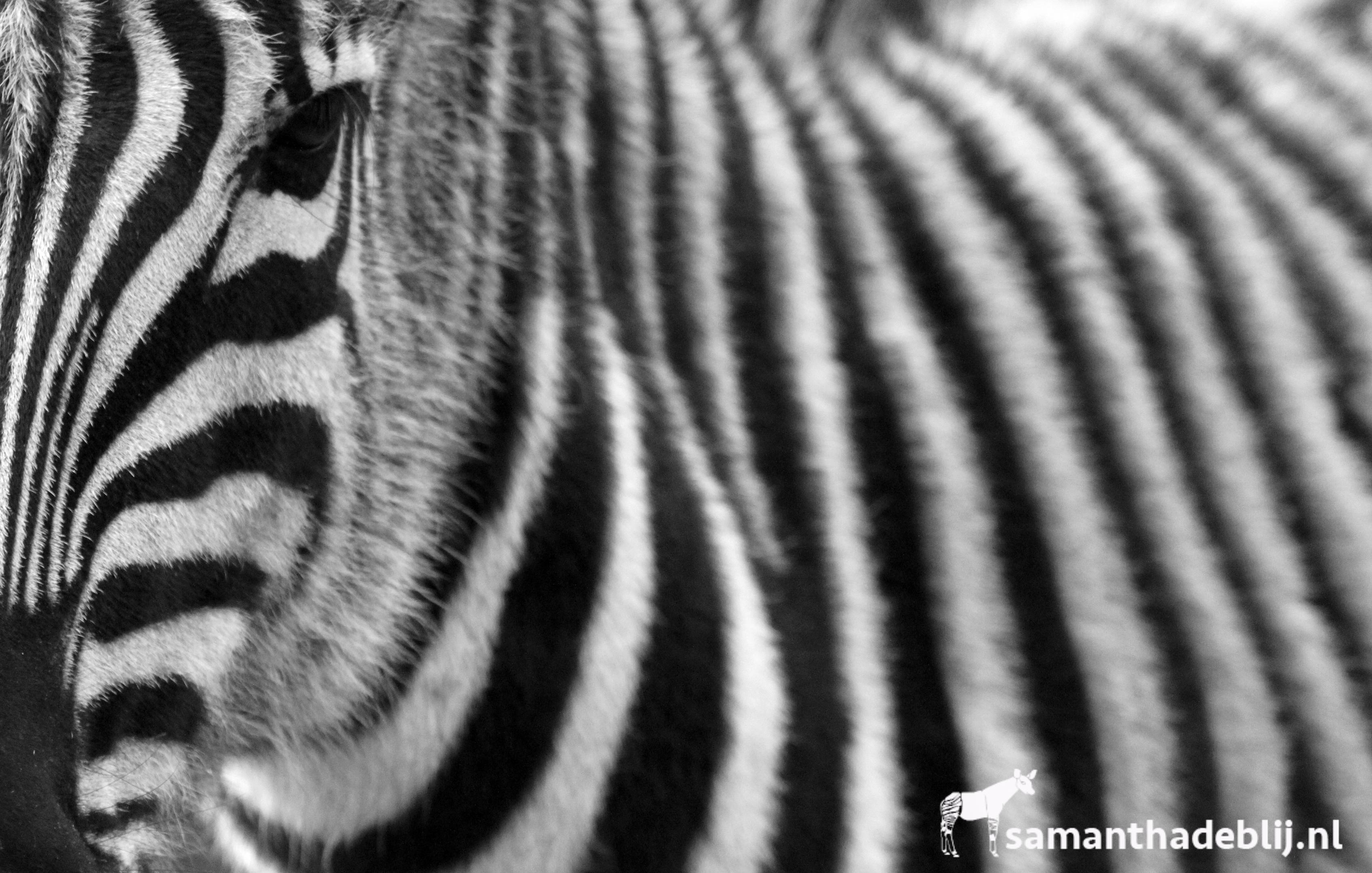 Champan Zebra